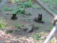 Волки в заповеднике